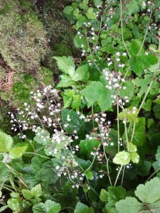Foamflower (Tiarella trifoliata)