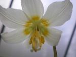 White Fawn Lily-ErythroniumOreganum