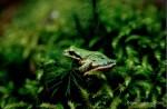 Pacific Chorus Frog-BrianBodenbach