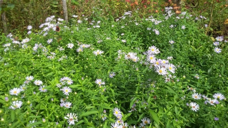 aster-chilensis2