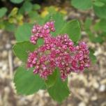 Subalpine Spirea (Spiraea splendens)