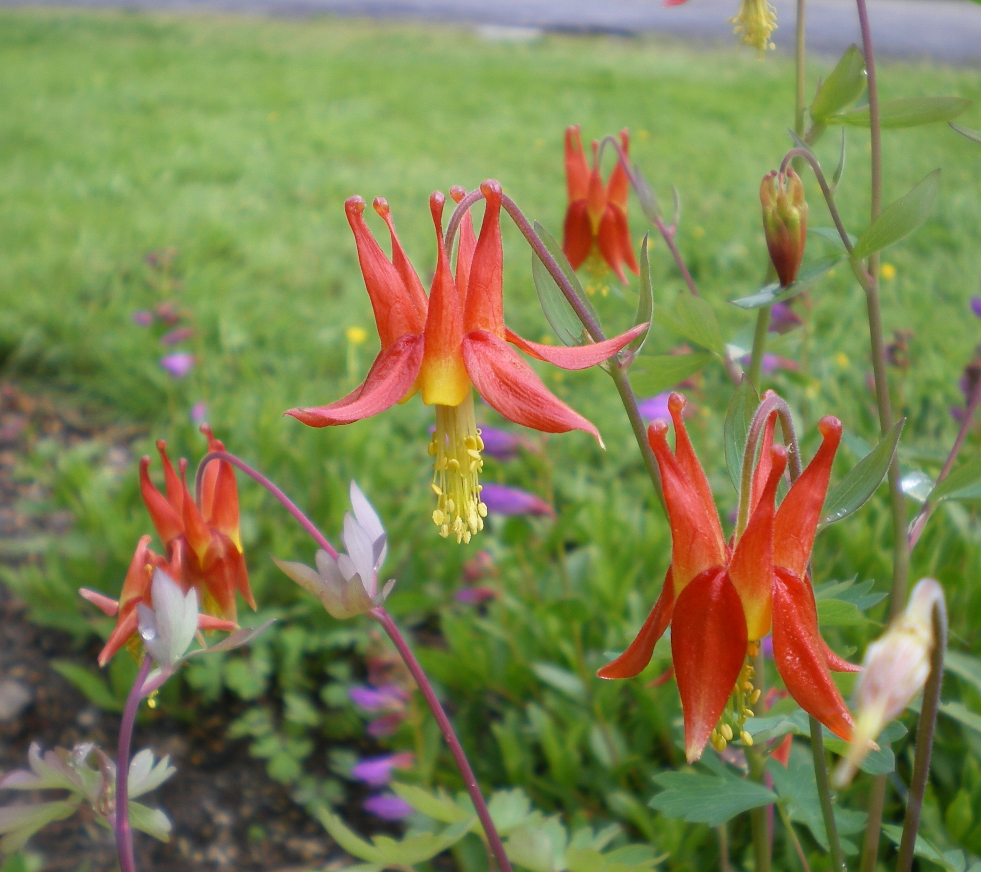 Come On By For Columbines