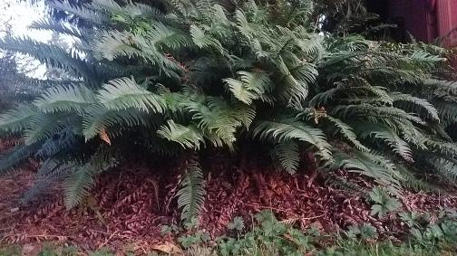 Sword fern 1